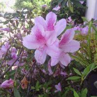 Some Beautiful Azalea Flowers!